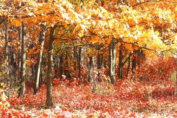 Fototapeta Drzewa Beautiful autumn landscape with yellow autumn leaves on autumn trees in warm autumn weather