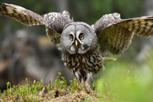 Great Grey Owl Portrait, Bird ...
