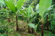 Kaffeeplantage Panama