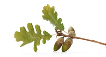 Oak Leaves On Twig In Autumn With Acorns Isolated On White Background