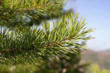 Green Needles Of A Tree Close-...