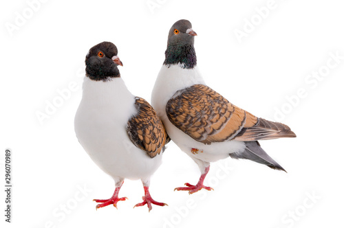 Photo two German pigeon modena isolated on white background