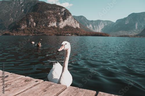 Photo Cisne en el lago de Hallstatt