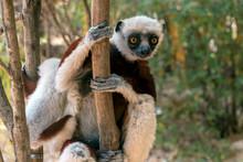 Crowned Sifaka Lemur ( Propith...
