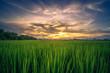 Beautiful rice field farm at sunrise sky.