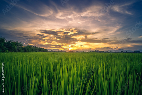 Recess Fitting Meadow Beautiful rice field farm at sunrise sky.