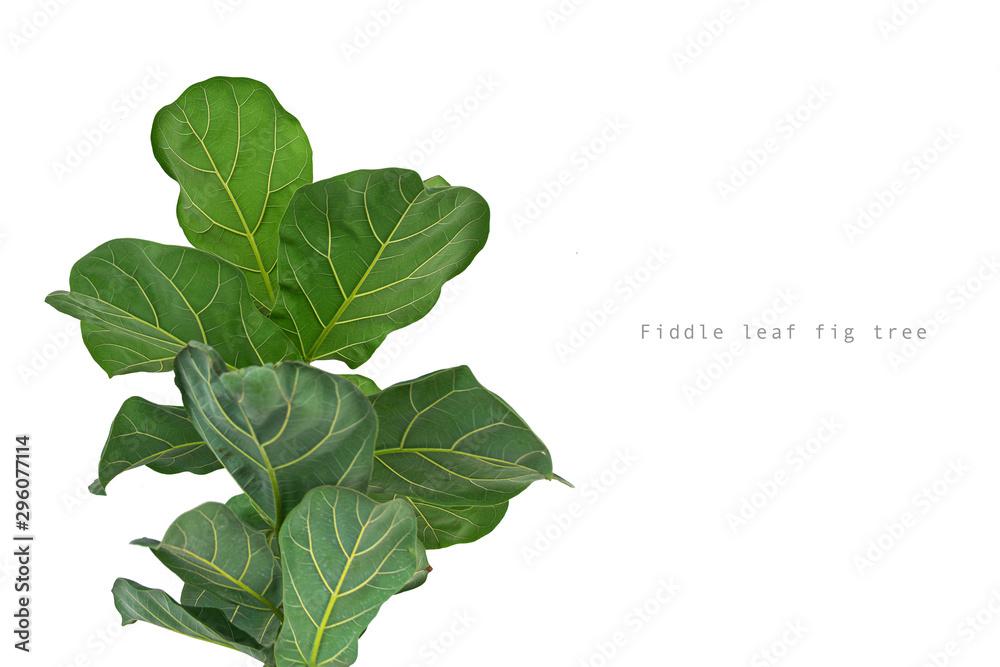 Fototapety, obrazy: Fiddle leaf fig tree on white background.