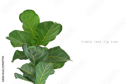 Carta da parati  Fiddle leaf fig tree on white background.
