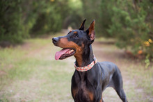 Doberman-pinscher Outside In A Wooded Setting, Black And Tan