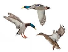 Isolated On White Three Mallard Ducks In Flight