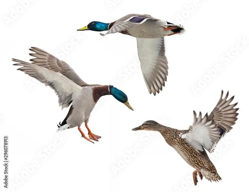 isolated on white three mallard ducks in flight Wallpaper Mural