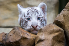 White Tiger Cub In Zoological ...