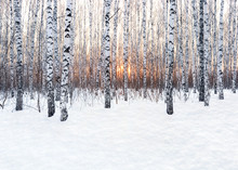 Winter Landscape. Birch Forest At Sunset. Freshly Clean Snow