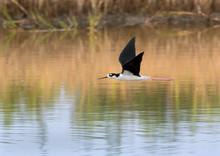 Black-necked Stilt (Himantopus Mexicanus) In Flight