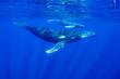 canvas print picture - ザトウクジラ ババウ島
