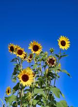 Tall Yellow Sunflowers Against A Deep Blue Sky