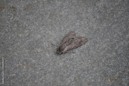 moth animal of class Insecta (insects) Canvas Print