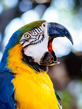 Beautiful Macaw Parrot Squawking, Mouth Open. Close-up Of Blue And Yellow Macaw Opening His Strong Beak. Portrait Of Macaw Beautiful Bird Parrot Open Beak In Front Of Bokeh Background.