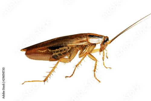 Side view of a living adult red cockroach macro isolated on the white background Canvas Print