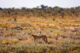 Fototapeta Sawanna - Cheetah lurking for prey at sunset in the Etosha National Park, Namibia