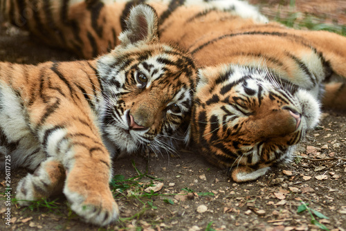 Photo  Two little tiger cubs outdoors