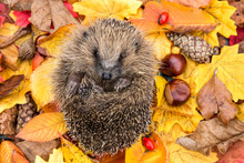 Hedgehog In Autumn. Wild, Native, European Hedgehog Curled Into A Ball In Colourful Autumn Leaves.  Facing Forward.  Horizontal.  Space For Copy