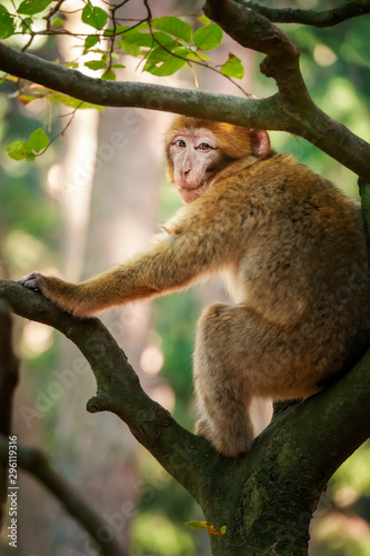 Foto op Canvas Londen Barbary macaque in the forest