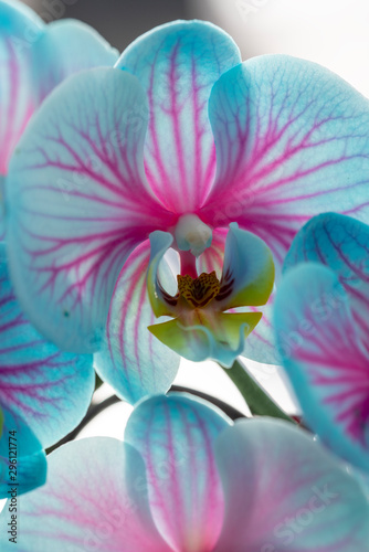 Fototapety, obrazy: View of the blue orchid
