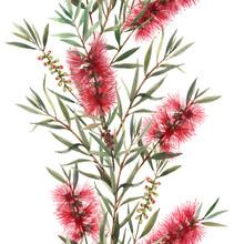 Watercolor Australian Calliste...