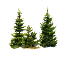 Picture Of Two Spruces And A Small Pine-tree Hand Drawn In Watercolor Isolated On A White Background. Watercolor Illustration.