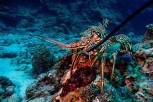 Lobster Portrait