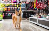 Fototapeta Zwierzęta - Little cute puppy walking in pet shop