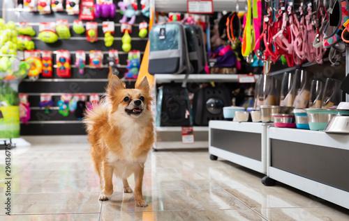 Foto  Little cute puppy walking in pet shop