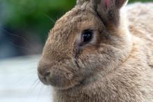Rabbit Flemish Giant