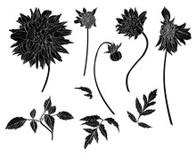 Sketch Floral Botany Collection. Dahlia Flower, Leaves And Buds Drawings. Line Art On White Backgrounds. Hand Drawn Botanical Illustrations.