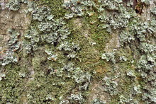 Green Lichen On The Bark Of A Tree. Tree Trunk Affected By Lichen. Moss On A Tree Branch. Textured Wood Surface With Lichens Colony. Fungus Ecosystem On Trees Bark.  Common Green Lichen. Soft Focus