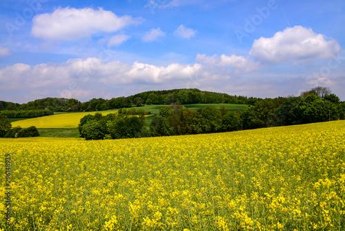 Poster Melon Rapsfeld Öl Felder Weite Panorama Sauerland Hemer Deutschland Ernte Biodiesel Kraftstoff Blüten gelb