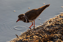 Lone Three-banded Plover Foraging For Insects In The Shallow Water