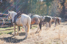 Western Horses Tied To Fence