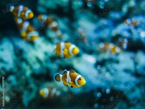 Fototapeta Nemo fish or clown fish swimming around aquarium tank