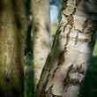 Baumstamm einer Birke an einem Wanderweg durch den Wald