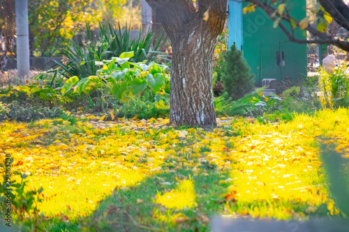 Photo sur Toile Jaune beautiful trees in the garden. lawn and trees. autumn leaves on the lawn in the garden.