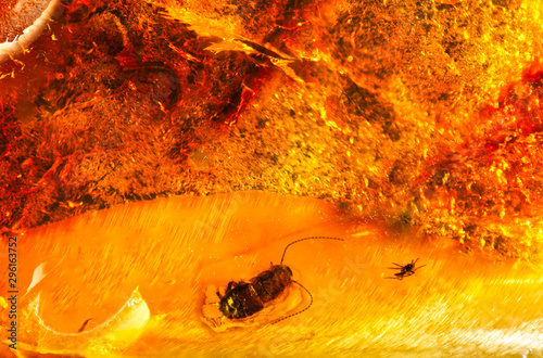 Vászonkép A small piece of Baltic amber with prehistoric insects inside