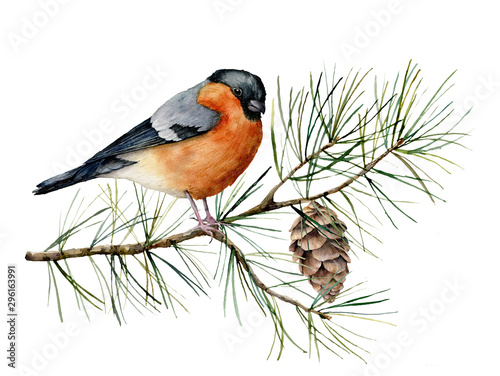 Fototapeta Watercolor Christmas composition with bullfinch. Hand painted winter card with bird, fir branch and cone isolated on white background. Floral illustration for design, print, fabric or background. obraz