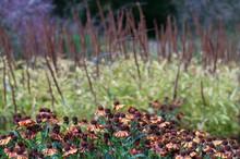 Helenium Autumnale, Common Sne...