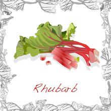 Fresh Rhubarb Illustration  Isolated On White Background. Vector Image