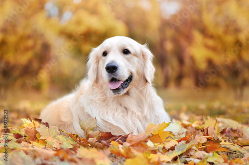 Beautiful golden retriever laying on autumn leafs - 296172523