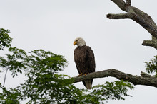 An American Bald Eagle Perched Against A White Sky.