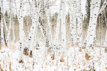 Fototapeta Inspiracje na zimę Aspens in winter