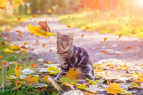 La pose en embrasure Beige Domestic cat for a walk in the autumn park. Home pet. Cat and autumn. Bengal cat kitten.